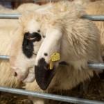 Schafe vor der Schur